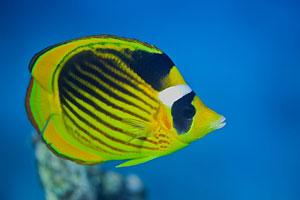 Falterfisch am Great Barrier Reef (Butterflyfish)