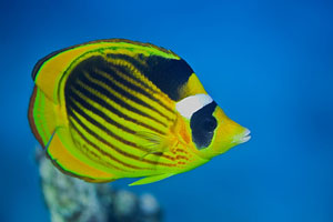 Falterfisch am Great Barrier Reef (Butterflyfish)